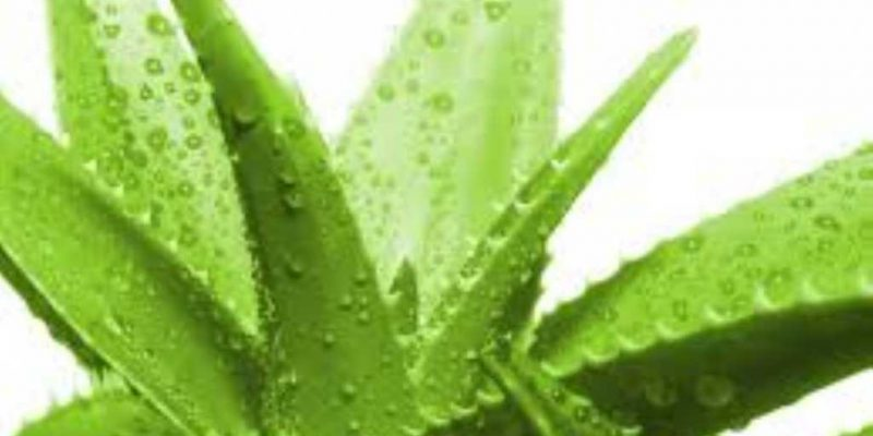 benefici-foglie-aloe-vera