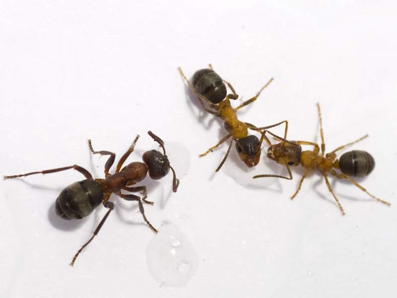 La disinfestazione da formiche