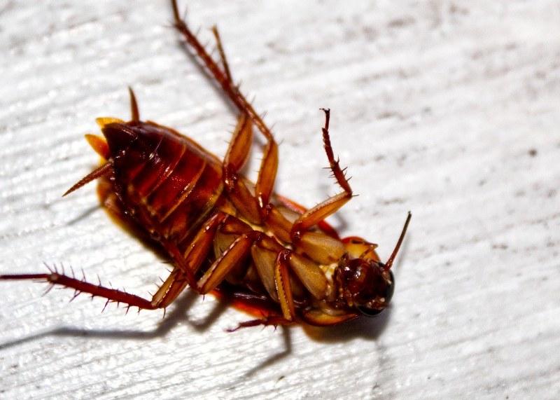 Come evitare un'infestazione di scarafaggi